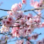 桃の節句とはどういう意味なのですか?橘と桃の花、はまぐりの由来