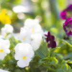 広島「フラワーフェスティバル」花鉢配布は何時にどこで?