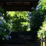 鎌倉・明月院のあじさいの見頃はいつ?あじさい祭りご案内