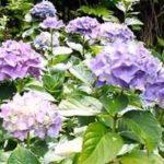 下田あじさい祭り2017年開花や日程と場所、見どころは?