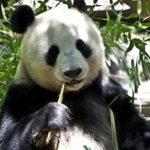 王子動物園の駐車場の混雑状況とパンダが見られるお勧めの時間帯は?