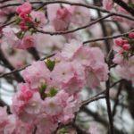 2016大阪造幣局の桜通り抜け日程とアクセス☆屋台や混雑情報